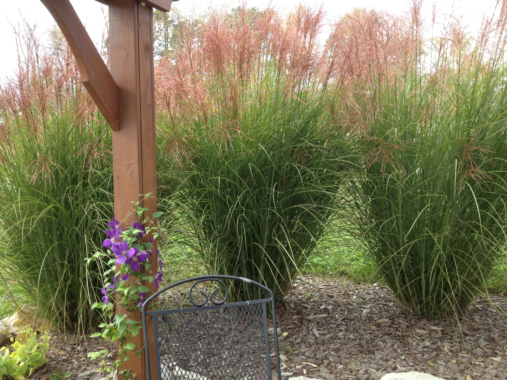 Planting and dividing ornamental grasses on the cheap for Tall grass garden