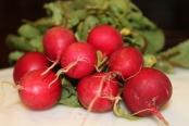Freshly pulled radishes