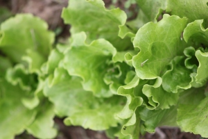 The first of the lettuce is through and almost ready for the first picking - this is Summer Crisp