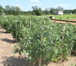 Staking allows for good growth and easy picking and weeding