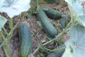 Be careful not to trample vines when picking produce such as cucumbers and zucchini