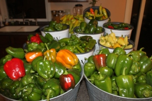 So maybe we planted a few too many peppers in the garden plan this year!