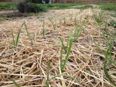 Garlic shooting up in early fall through the straw mulch