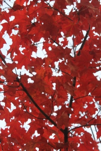 Maple leaves are some of the best to add to your garden.