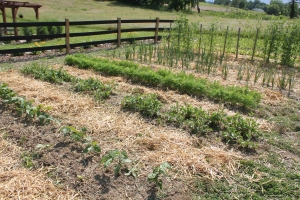 The strawor shredded leaf mulching keeps the garden looking great, while keeping watering and weeding to a minimum