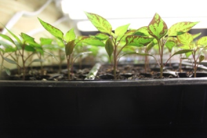 Our Sangria Seedlings At The Tender Age of 4 Weeks