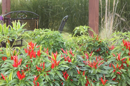 Poinsettia Ornamental Peppers