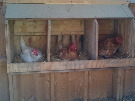 "Happy Chickens = Eggs.  Here are 3 of our ""girls"" enjoying the warmth of the coop and their nesting boxes"
