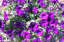 Hopefully the bees will find the garden and landscape plants like these petunias to their liking