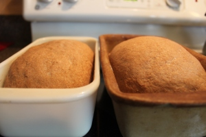 Loaves doubled and ready to go in the oven.