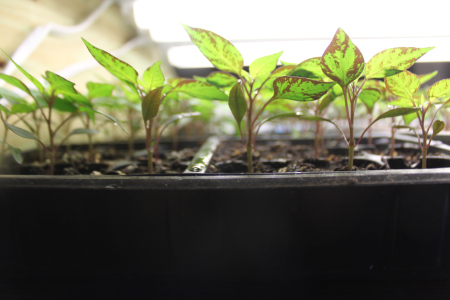 Starting Our Seeds Indoors…Getting Ready For Spring! 4-week-old-seeds