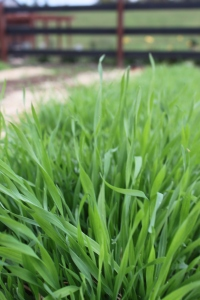 The bright green texture of  4 week old annual rye - a great green manure crop