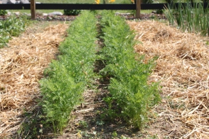Once they are established, mulching is the better option than tillingor between rows. Here carrots benefit from straw mulch - keeping in moisture and keeping back weeds