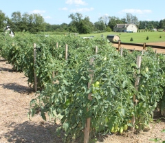 To have healthy tomato plants - you need healthy soil
