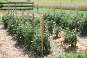 If you leave plants like these tomatoes in the ground all winter -they can breed disease for next year's crop.