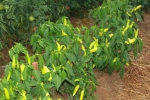 Hot Banana peppers between rows of tomatoes