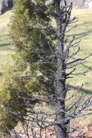 The remnants of an ornamental pine tree after catching fire from a spark
