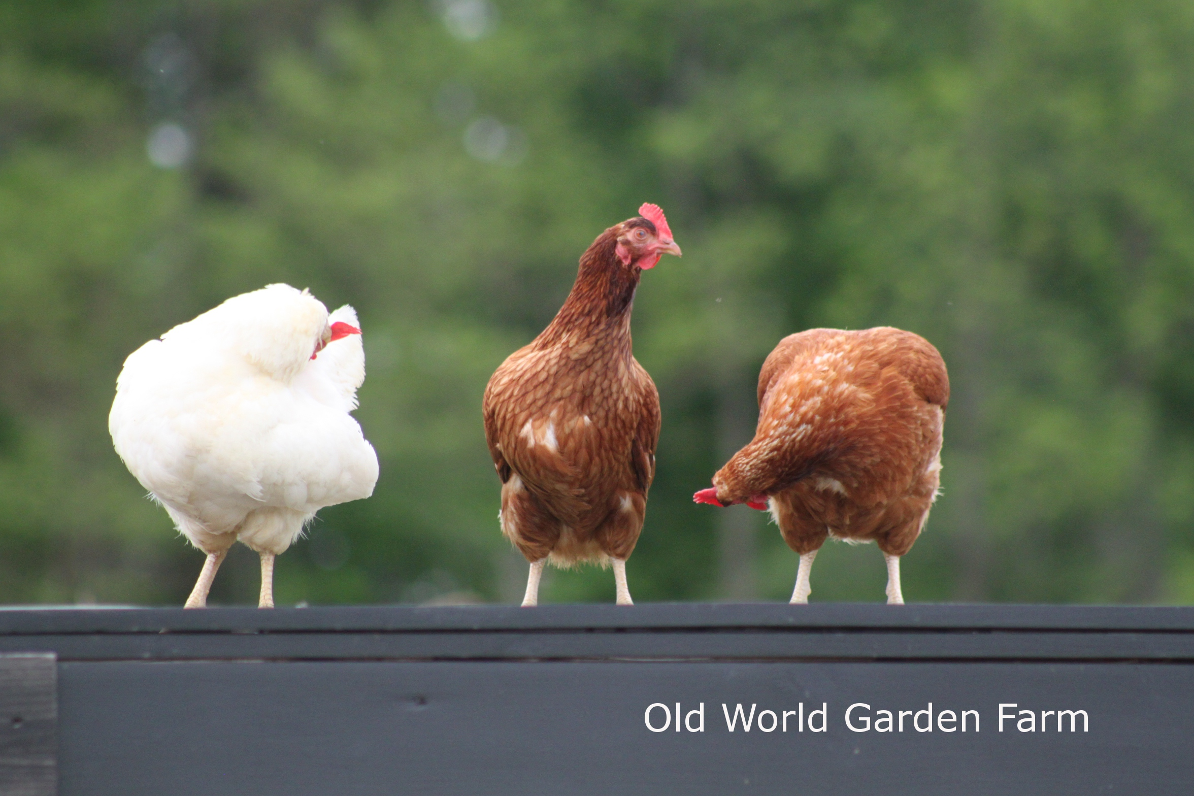 The Chicks Are Here Raising Our Chicks At The Farm Old World Garden Farms
