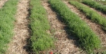 Cover crops keep the soil from eroding and weed seeds form finding a home