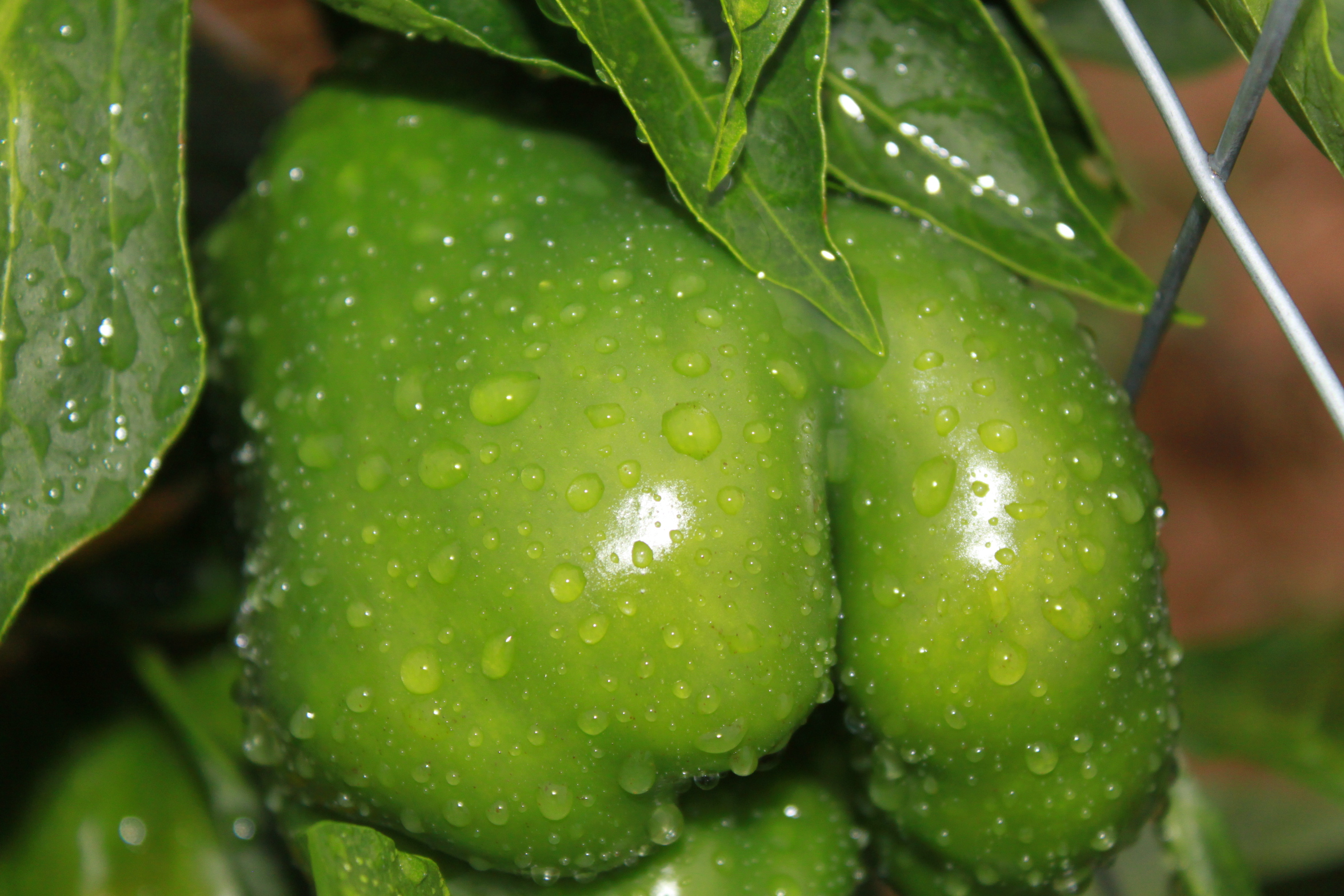All about peppers how to grow all kinds of peppers in your garden old world garden farms - Planting pepper garden ...