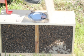 The bees are shipped in a wooden crate like box with a can of syrup to keep them fed.  The little tab you see on can is what is holding the queen's cage suspended in the box