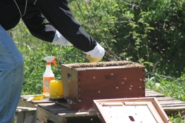 Placing the Queen in the hive