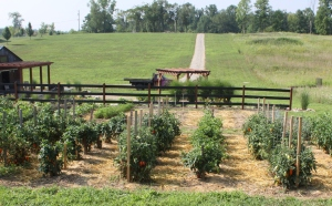 Staking your tomatoes keeps them off the ground and growing strong