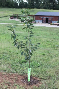 One of our first trees planted in 2011 at the farm