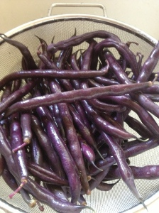 Beans  - like these Royal Purple Burgandy - can be allowed to dry and then shucked for next seasons planting.