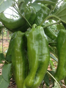 Home grown green peppers - a perfect addition to the chili!