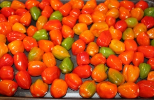 Fiery-hot habanero peppers from the garden