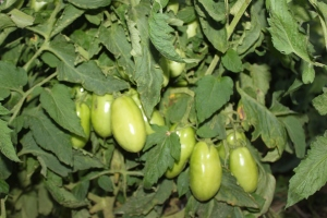 The tomato plants are filled with plenty of large green tomatoes - ready to turn red and be turned into salsa, sauce, juice, ketchup and more