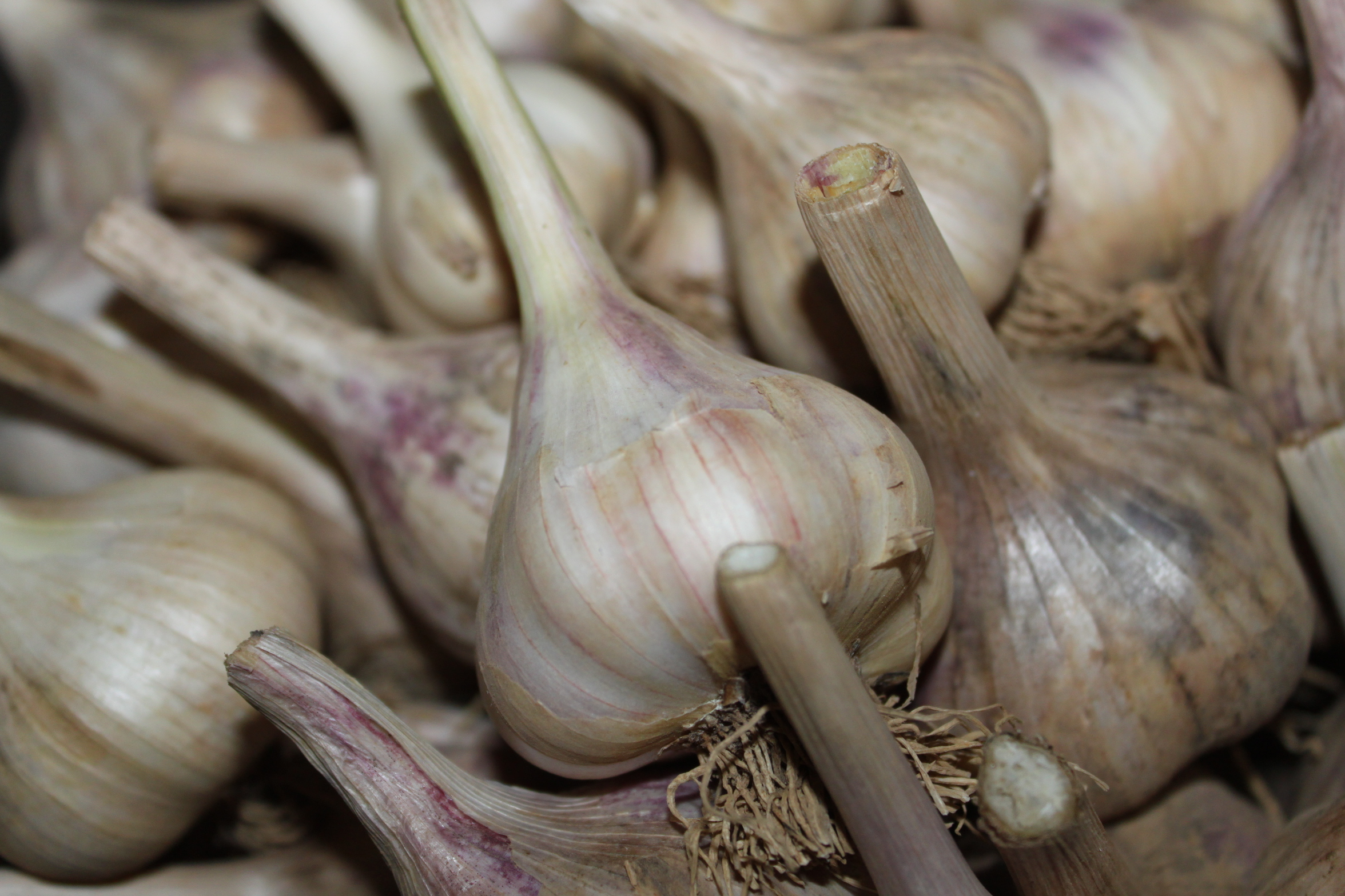 All About Garlic Harvesting Growing And Storing Old World Garden Farms
