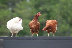 Our chickens have played a big part in our effort to becoming more self sufficient on our food needs