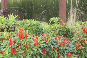 We plant many of our peppers right into the landscape beds to add color throughout the farm