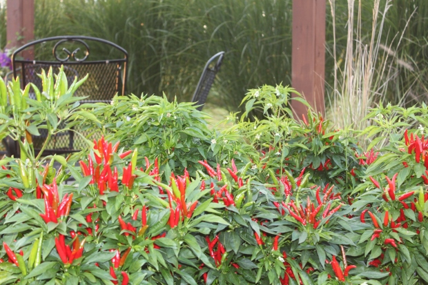 Poinsettia ornamental peppers filling the space around our pergola