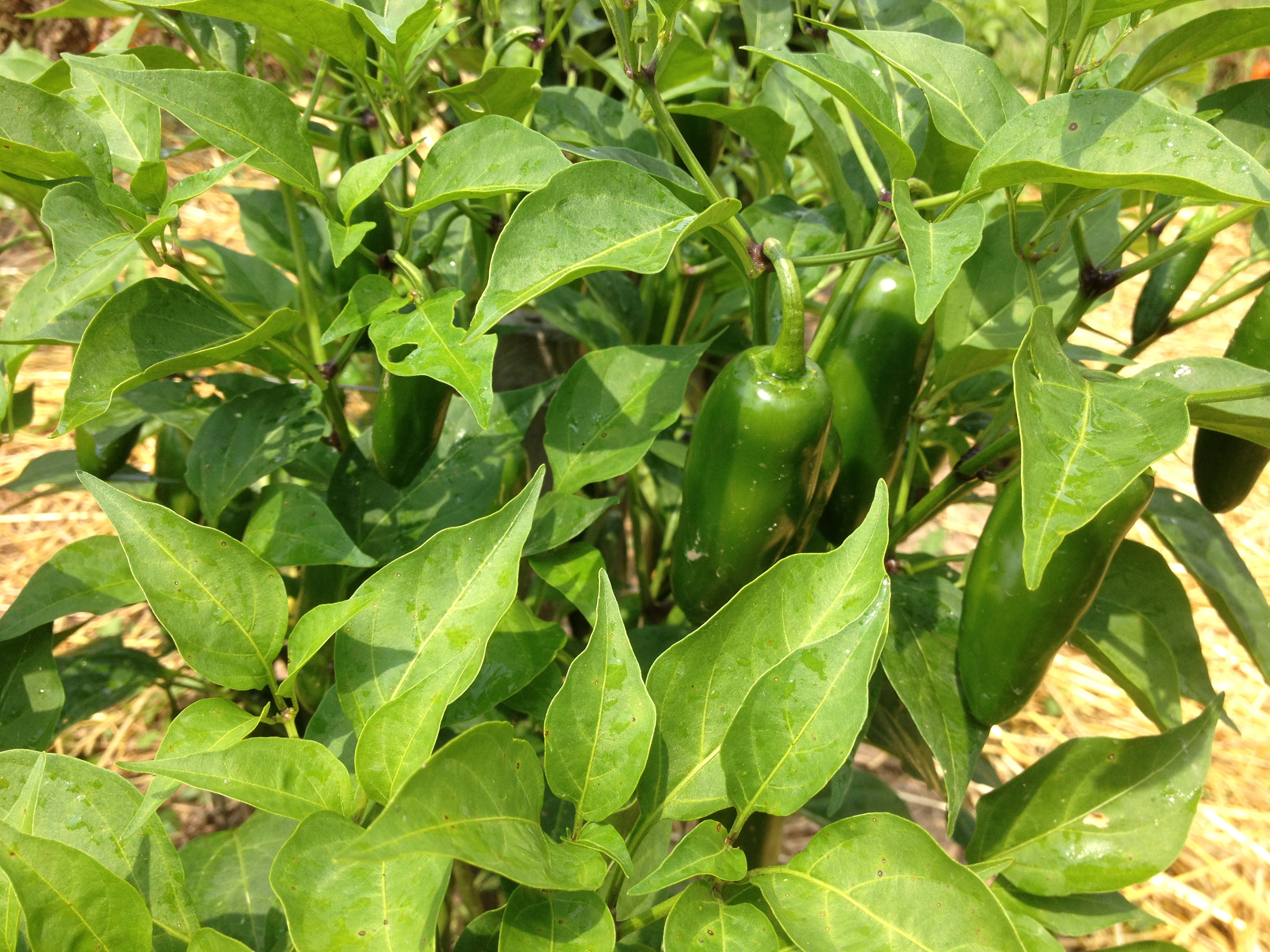 Jalapeno pepper plant leaves
