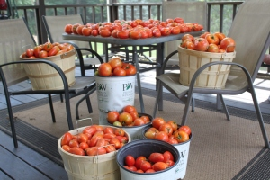The back porch has been turned into a holding pen for our tomato harvest - this was Saturday's haul.
