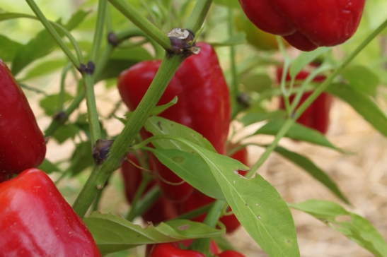 The Cajun Belle Peppers turning red on the vine