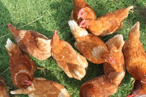 The chickens provide us with eggs, fertilizer and insect control!