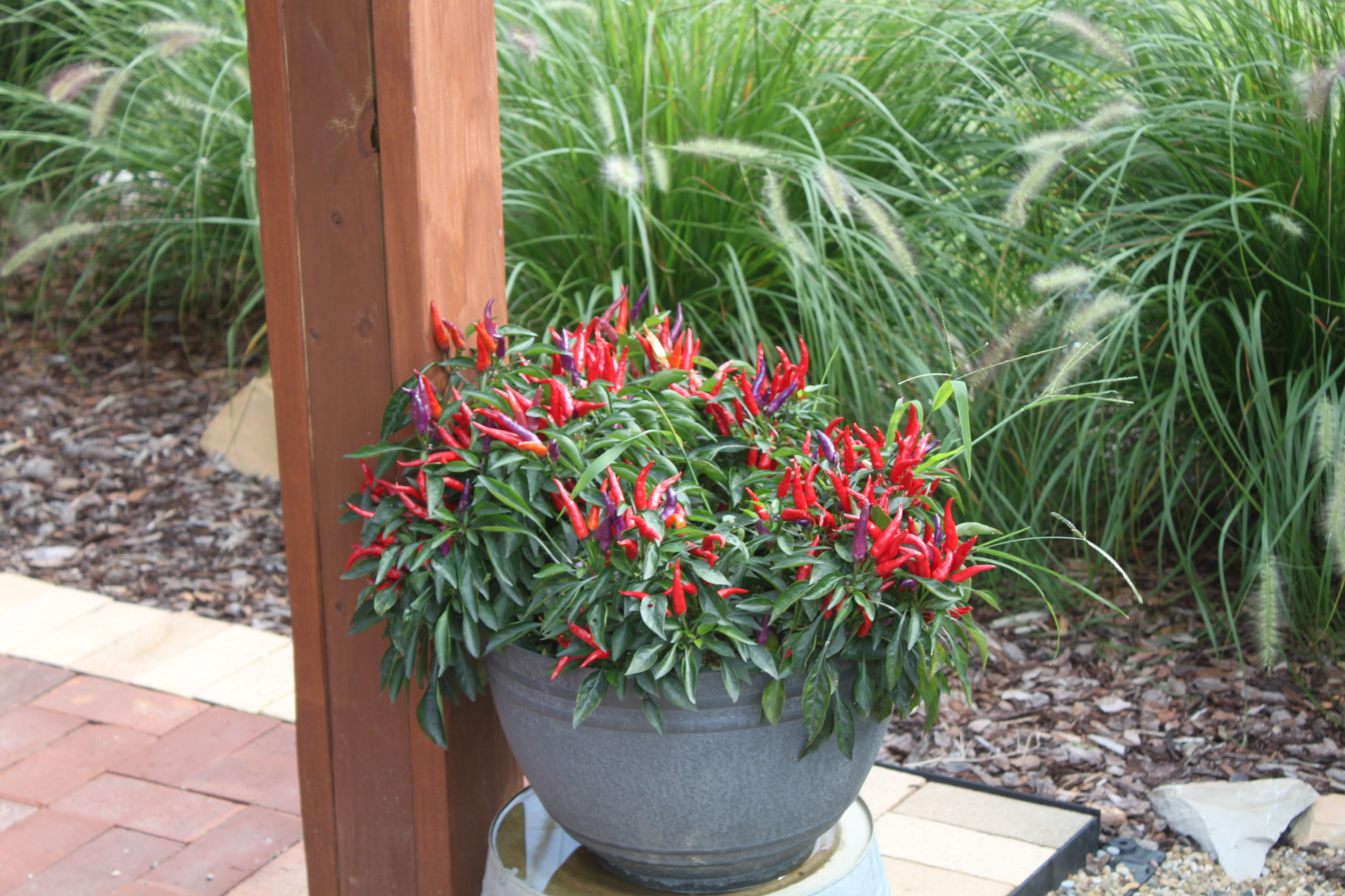 6 fantastic ornamental pepper plants to grow this year for Ornamental vegetable plants