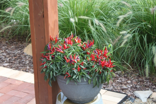 One of our favorites to plant - Sangria ornamental peppers. In addition to great bedding plants - they make great potted and hanging basket plants - providing hundreds of tiny colorful peppers ranging from purple to deep red
