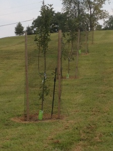 Learning a hard lesson from our first year - all of our orchard trees are now covered with deer fencing for the late fall and winter months to protect them from the deer.