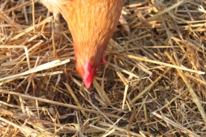 A thick layer of clean, dry straw will help your chickens stay nice and warm