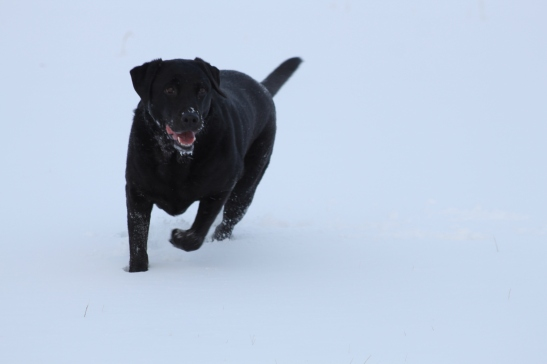 It's easy to find our lab in the snow!  I think Jazzy was the only one enjoying the visit to the farm.