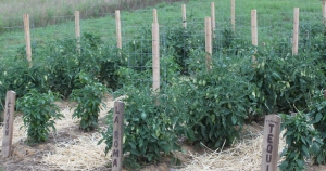 Healthy tomato plants from last year growing with the help of coffee grounds and egg shells