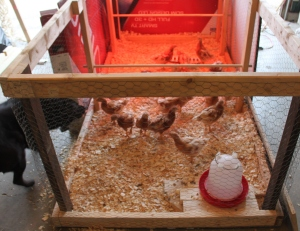 """Once the chicks reached about 4 weeks -we opened up the full length of the brooder. As you can see, our dog Jazzy loved to """"watch"""" them."""