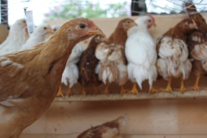 """The chicks all using the """"training"""" perch"""