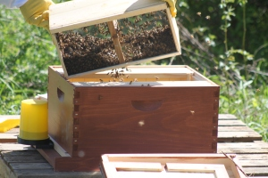 Our packaged bees going into the hive last spring