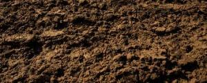 Potatoes benefit from loose and well drained soil
